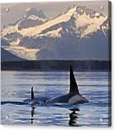 Two Killer Whales Surface In Lynn Canal Acrylic Print