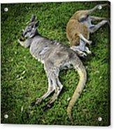 Two Lazy Kangaroos Lying Down Acrylic Print
