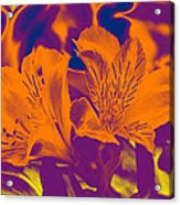 Two Lilies Gradient Acrylic Print