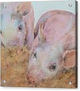 Two Little Piggies Acrylic Print