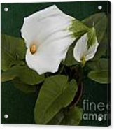 Two Lovely Lilies Acrylic Print