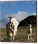 Two Mountain Goats Oreamnos Americanus Acrylic Print