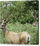Two Mule Deer Bucks Acrylic Print