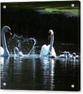 Two Mute Swans With Young Cygnus Olor Acrylic Print