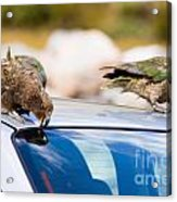 Two Nz Alpine Parrot Kea Trying To Vandalize A Car Acrylic Print