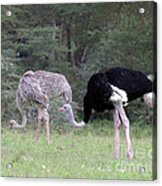 Two Ostriches Acrylic Print