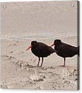 Two Oystercatchers Haematopus Unicolor On Beach Acrylic Print