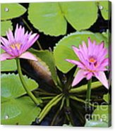 Two Pink Water Lilies Acrylic Print