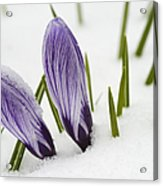 Two Purple Crocuses In Spring With Snow Acrylic Print by Matthias Hauser