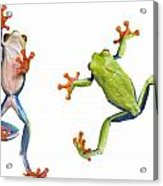Two Red Eyed Tree Frogs Acrylic Print