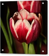 Two Red Tulips Acrylic Print