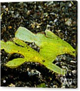 Two Robust Ghost Pipefish In Volcanic Acrylic Print by Steve Jones