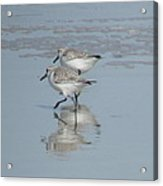 Two Running Sandpipers Acrylic Print