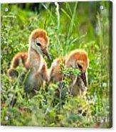 Two Sandhill Crane Chicks Acrylic Print
