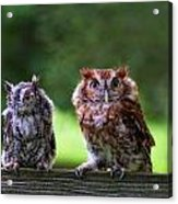 Two Screech Owls Acrylic Print