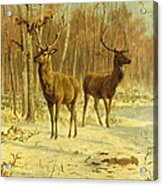 Two Stags In A Clearing In Winter Acrylic Print