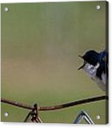 Two Swallows Acrylic Print