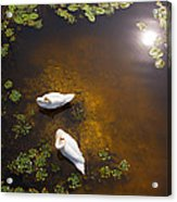 Two Swans With Sun Reflection On Shallow Water Acrylic Print