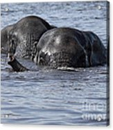 Two Swimming Elephants Acrylic Print