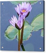 Two Tall Water Lilies Acrylic Print