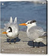 Two Terns Watching Acrylic Print