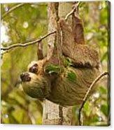Two-toed Sloth Acrylic Print