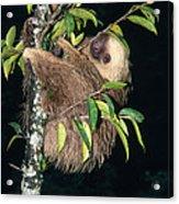 Two-toed Sloth Choloepus Didactylus Acrylic Print