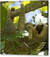 Two-toed Sloth Relaxing With A Grin Acrylic Print