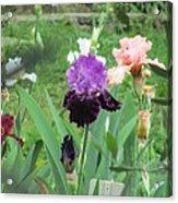 Two Tone Iris Acrylic Print