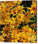 Two Toned Yellow Blooms Acrylic Print