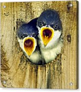 Two Tree Swallow Chicks Acrylic Print