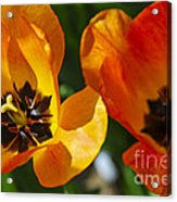 Two Tulips Acrylic Print by Elena Elisseeva