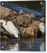 Two White Herons And A Coot Acrylic Print