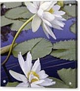 Two White Lilies Acrylic Print