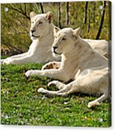 Two White Lions Acrylic Print