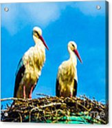 Two White Storks 16 Acrylic Print