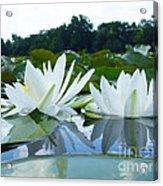 Two White Waterlilies Acrylic Print