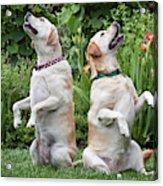 Two Yellow Labrador Retrievers Sitting Acrylic Print