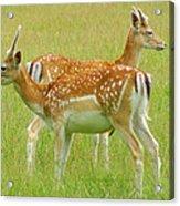 Two Young Deer Acrylic Print by DerekTXFactor Creative