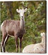 Two Young Stone Sheep Ovis Dalli Stonei Watching Acrylic Print