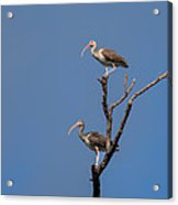 Two Youngsters In A Tree Acrylic Print