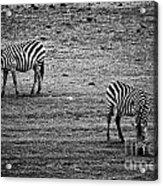Two Zebras Eating. Tanzania Acrylic Print