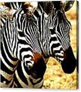Two Zebras Acrylic Print