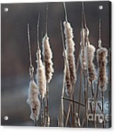 Typha Cattail Spikes Seeds Acrylic Print
