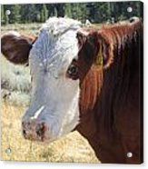 Typical Cattle Acrylic Print