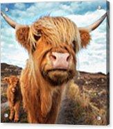 Uk, Scotland, Highland Cattle With Calf Acrylic Print