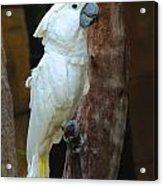 Umbrella Macaw Acrylic Print