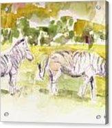 Umfalozi Zebra Acrylic Print by David  Hawkins