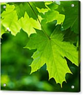 Under The Maple Leaves - Featured 2 Acrylic Print