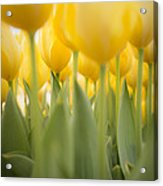 Under Yellow Tulips - 8x10 Format Acrylic Print